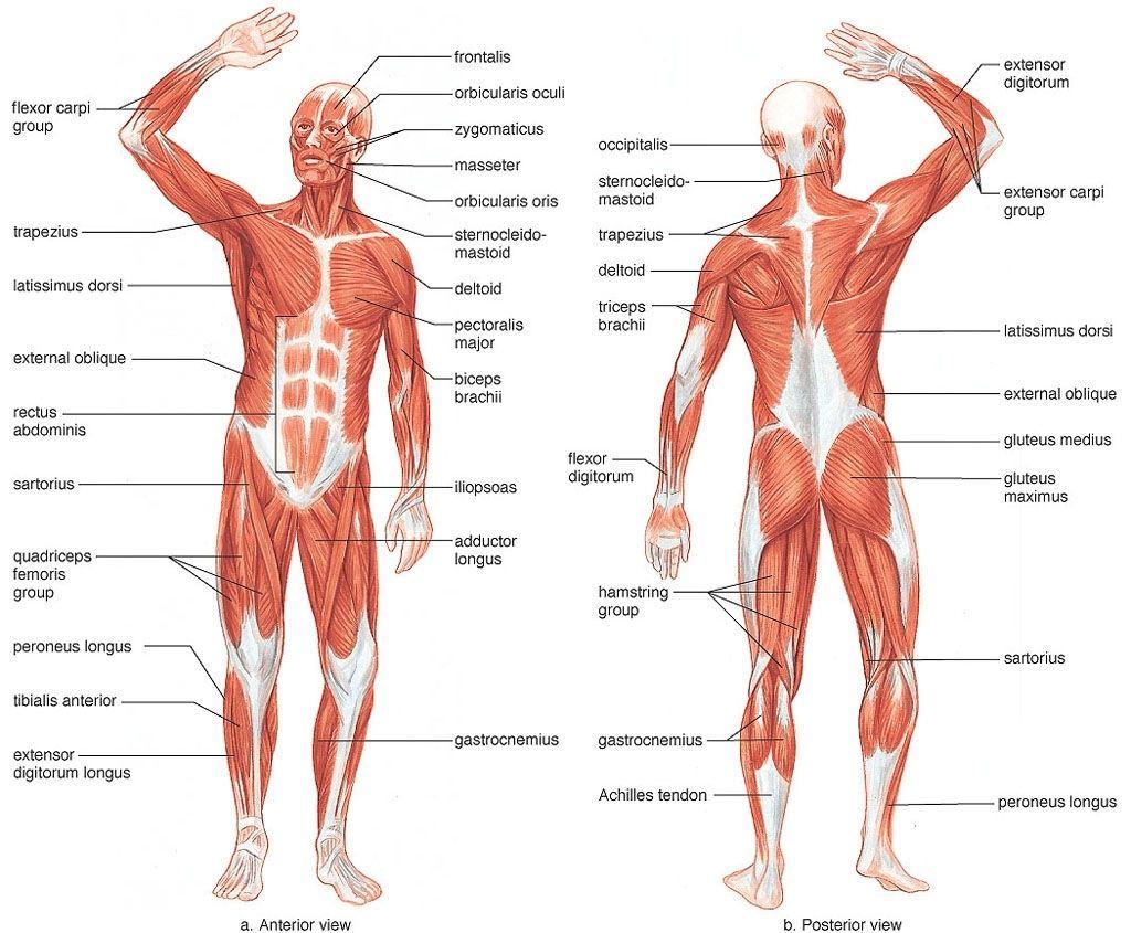 mens egészségügyi zsírégető szupersettek zsírégető táblázat