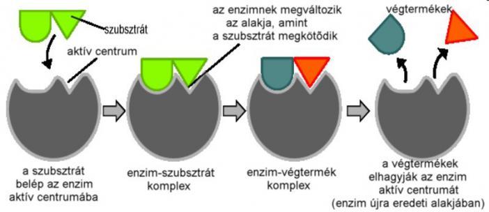 fogyni enzimek