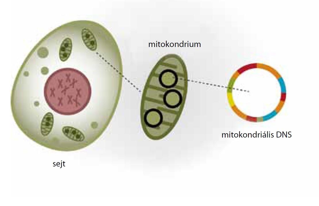 keszthelyipiac.hu - Magyar Mitochondriális Betegek Társasága